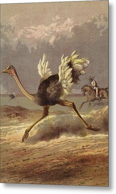 Chasing The Ostrich Metal Print by English School