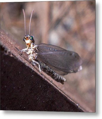 Chauliodes Metal Print by Rob Sellers