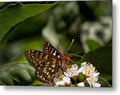 Checkerspot Sipping Nectar Metal Print