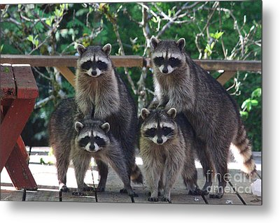 Cheerleading Raccoons Metal Print by Kym Backland
