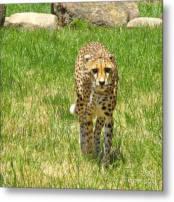 Cheetah Approaching Metal Print by CML Brown