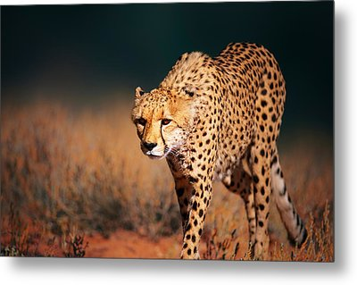 Cheetah Approaching From The Front Metal Print
