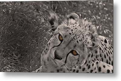 Cheetah Eyes Metal Print by Martin Newman