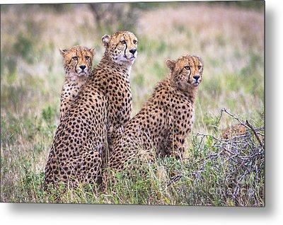 Cheetah Family Metal Print