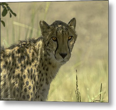 Cheetah Gaze Metal Print by LeeAnn McLaneGoetz McLaneGoetzStudioLLCcom