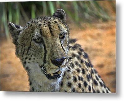 Cheetah Metal Print by Kim Andelkovic