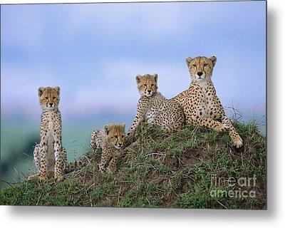 Cheetah Mother And Cubs Masai Mara Metal Print by Yva Momatiuk John Eastcott