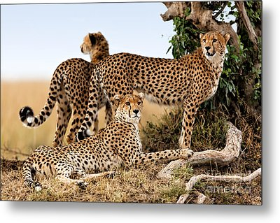 Cheetah Mother And Two Older Cubs In Masai Mara Metal Print by Maggy Meyer