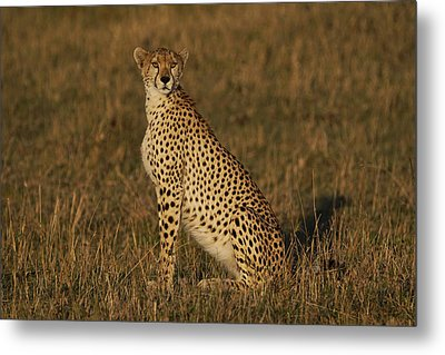 Cheetah On Savanna Masai Mara Kenya Metal Print