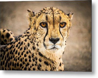 Cheetah Portrait - Color Photograph Metal Print