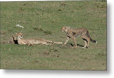 Cheetah Relaxing With Her Cubs Metal Print