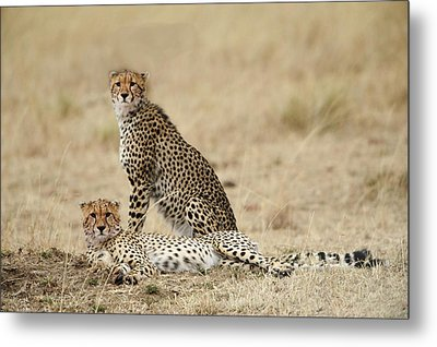 Cheetahs Resting Metal Print by Phyllis Peterson