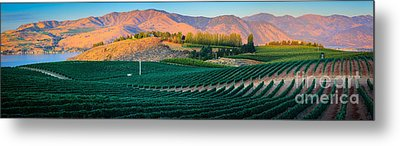 Chelan Vineyard Panorama Metal Print by Inge Johnsson