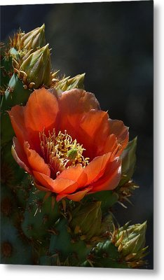 Metal Print featuring the photograph Chenille Prickly Pear Bloom And Buds by Cindy McDaniel