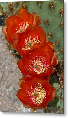 Metal Print featuring the photograph Chenille Prickly Pear Quartet by Cindy McDaniel