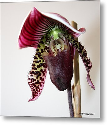 Metal Print featuring the photograph Cherry Black Lady Slipper by Penny Hunt