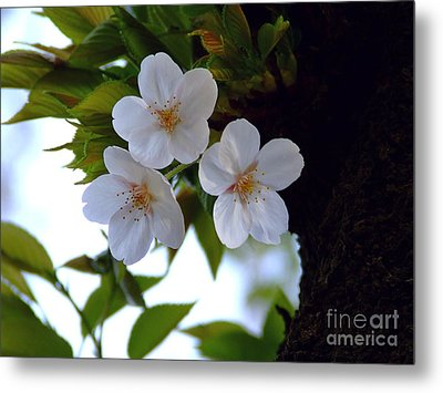 Metal Print featuring the photograph Cherry Blossom by Andrea Anderegg
