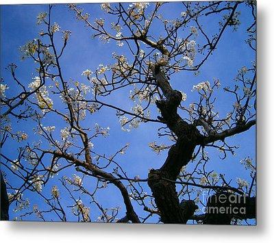 Cherry Blossom Metal Print by Drew Shourd