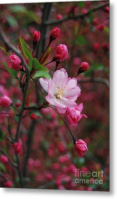 Metal Print featuring the photograph Cherry Blossom by Eva Kaufman