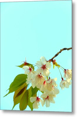 Metal Print featuring the photograph Cherry Blossom Flowers by Rachel Mirror