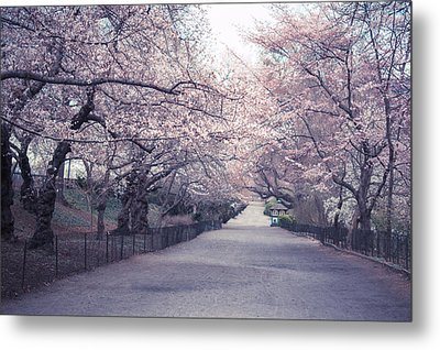 Cherry Blossom Path - Central Park Springtime Metal Print by Vivienne Gucwa