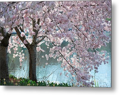 Cherry Blossom Metal Print by Robin Hassler