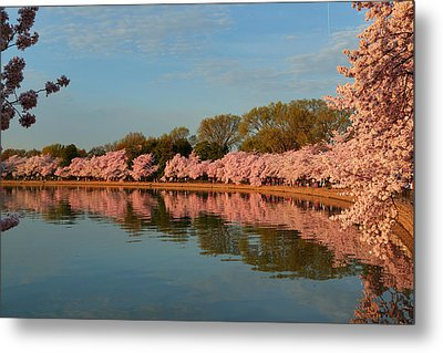 Cherry Blossoms 2013 - 001 Metal Print by Metro DC Photography