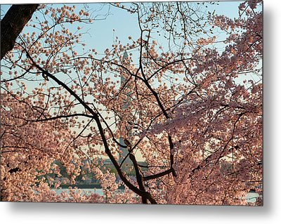 Cherry Blossoms 2013 - 004 Metal Print by Metro DC Photography