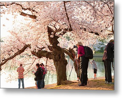 Cherry Blossoms 2013 - 006 Metal Print by Metro DC Photography