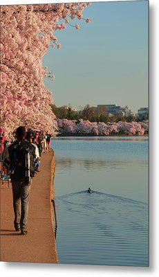 Cherry Blossoms 2013 - 008 Metal Print by Metro DC Photography