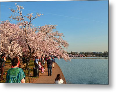 Cherry Blossoms 2013 - 010 Metal Print by Metro DC Photography