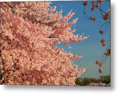 Cherry Blossoms 2013 - 013 Metal Print