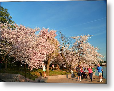 Cherry Blossoms 2013 - 015 Metal Print by Metro DC Photography