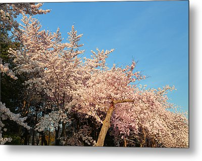 Cherry Blossoms 2013 - 019 Metal Print by Metro DC Photography