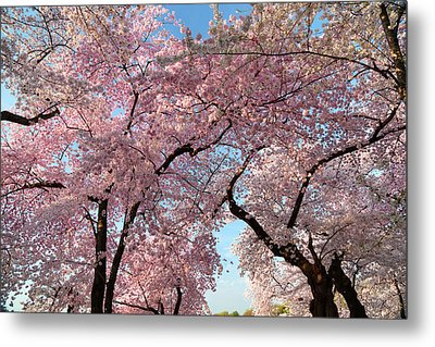 Cherry Blossoms 2013 - 025 Metal Print by Metro DC Photography