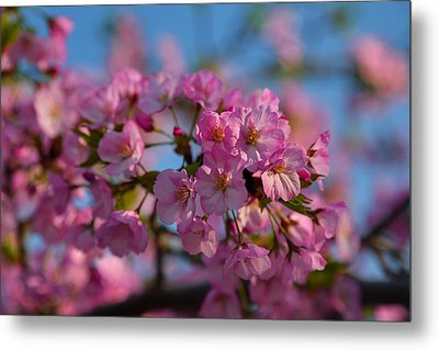 Cherry Blossoms 2013 - 031 Metal Print by Metro DC Photography