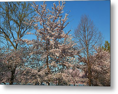 Cherry Blossoms 2013 - 033 Metal Print by Metro DC Photography