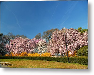 Cherry Blossoms 2013 - 052 Metal Print by Metro DC Photography