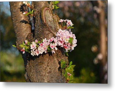 Cherry Blossoms 2013 - 064 Metal Print by Metro DC Photography