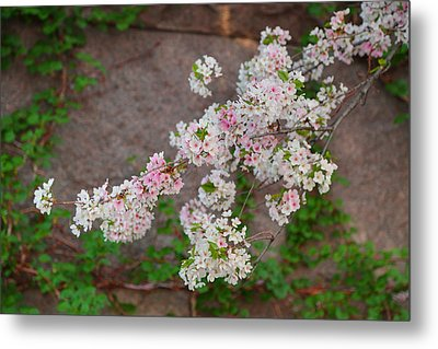 Cherry Blossoms 2013 - 067 Metal Print by Metro DC Photography