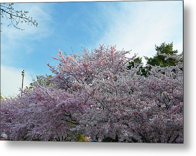 Cherry Blossoms 2013 - 070 Metal Print