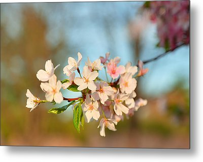 Cherry Blossoms 2013 - 073 Metal Print by Metro DC Photography