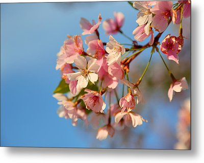Cherry Blossoms 2013 - 074 Metal Print