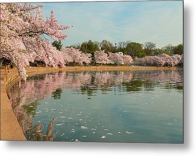 Cherry Blossoms 2013 - 083 Metal Print