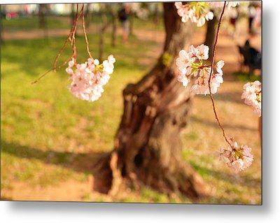 Cherry Blossoms 2013 - 086 Metal Print