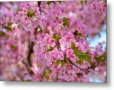 Cherry Blossoms 2013 - 096 Metal Print by Metro DC Photography