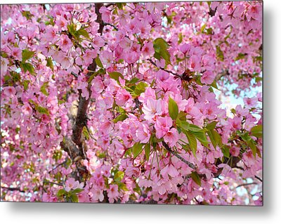 Cherry Blossoms 2013 - 097 Metal Print by Metro DC Photography