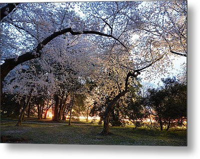 Cherry Blossoms 2013 - 101 Metal Print by Metro DC Photography
