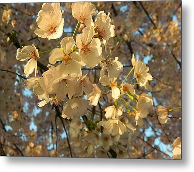 Metal Print featuring the photograph Cherry Blossoms by Emmy Marie Vickers