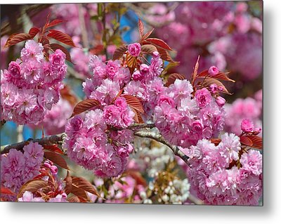 Metal Print featuring the photograph Cherry Blossoms by Kathy King